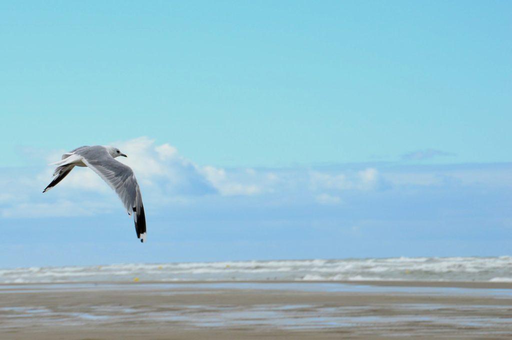 mouette au dessus de la mer Manche